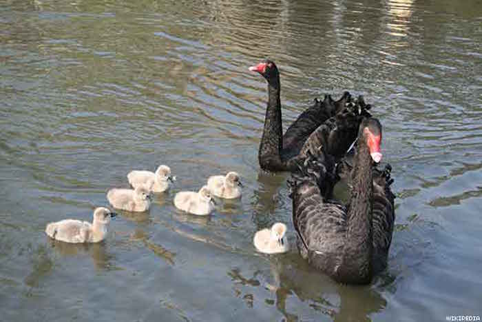 black_swan_familyx600