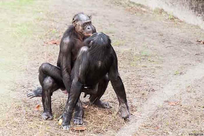 bonobo_x600
