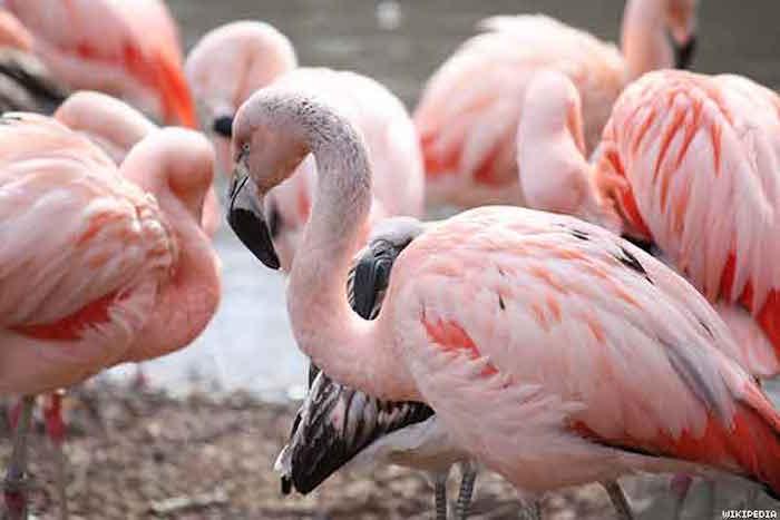 chilean_flamingox600