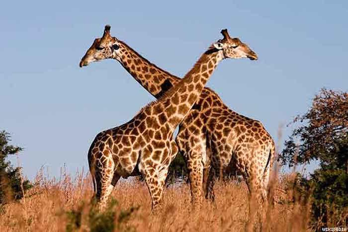 giraffe_x600