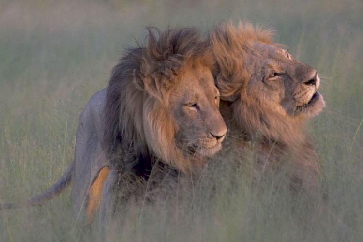 雄ライオン同士の交尾写真が話題に